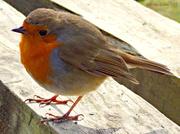 29th Mar 2013 - Robin the food.