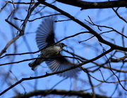 28th Mar 2013 - Bird in flight