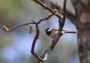 25th Mar 2013 - Chickadee