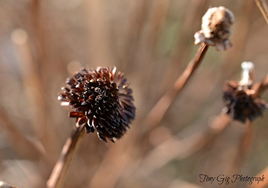 Seed Head by tonygig