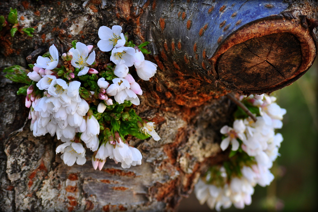 Cherry Blossoms by pflaume