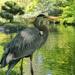 Great Blue Heron by lynne5477