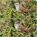 White-throated Sparrow by cjwhite