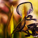 iris by jantan