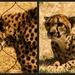 Cheetah Diptych by cdonohoue
