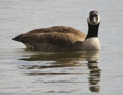 8th Apr 2013 - Who's a Goose?
