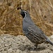 California Quail by robv