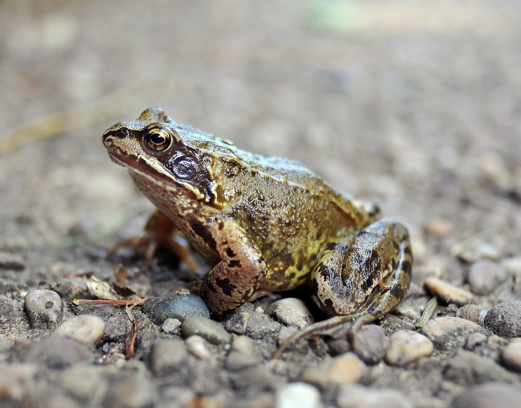 Another frog.. by blightygal