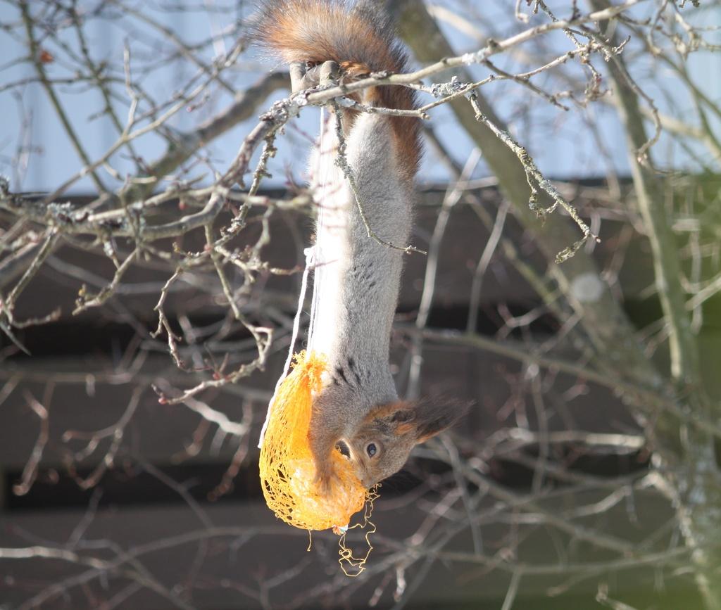 Red squirrel (Sciurus vulgaris) - Orava, Röd ekorre IMG_2905 by annelis