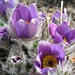purple pulsatilla in the walled garden at Mottisfont by quietpurplehaze