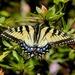 Butterfly!! by tara11