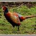 Phil Pheasant by rosiekind