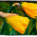Daffodils ( walk me out in the morning dew ) by paul2782
