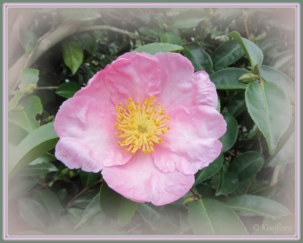 Camellia 'Plantation Pink' by kiwiflora