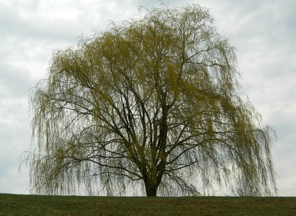 My favorite weeping willow tree by mittens