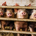 four eager porkers by jantan