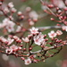 Flowering Plum by jankoos