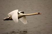 16th Apr 2013 - Mute Swan