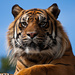 17th April - Tiger Tiger burning bright by pamknowler
