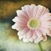 Sweet Pink Petals by gardencat