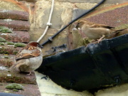 18th Apr 2013 - Nest building