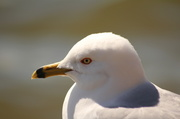 18th Apr 2013 - Ring-billed Gull