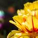 Parrot Tulip by cdonohoue