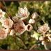 Cherry  blossom by pyrrhula