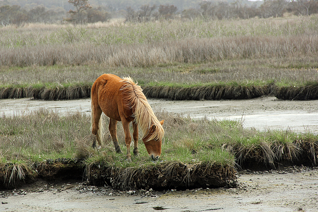 Assateague Wild Horse by hjbenson