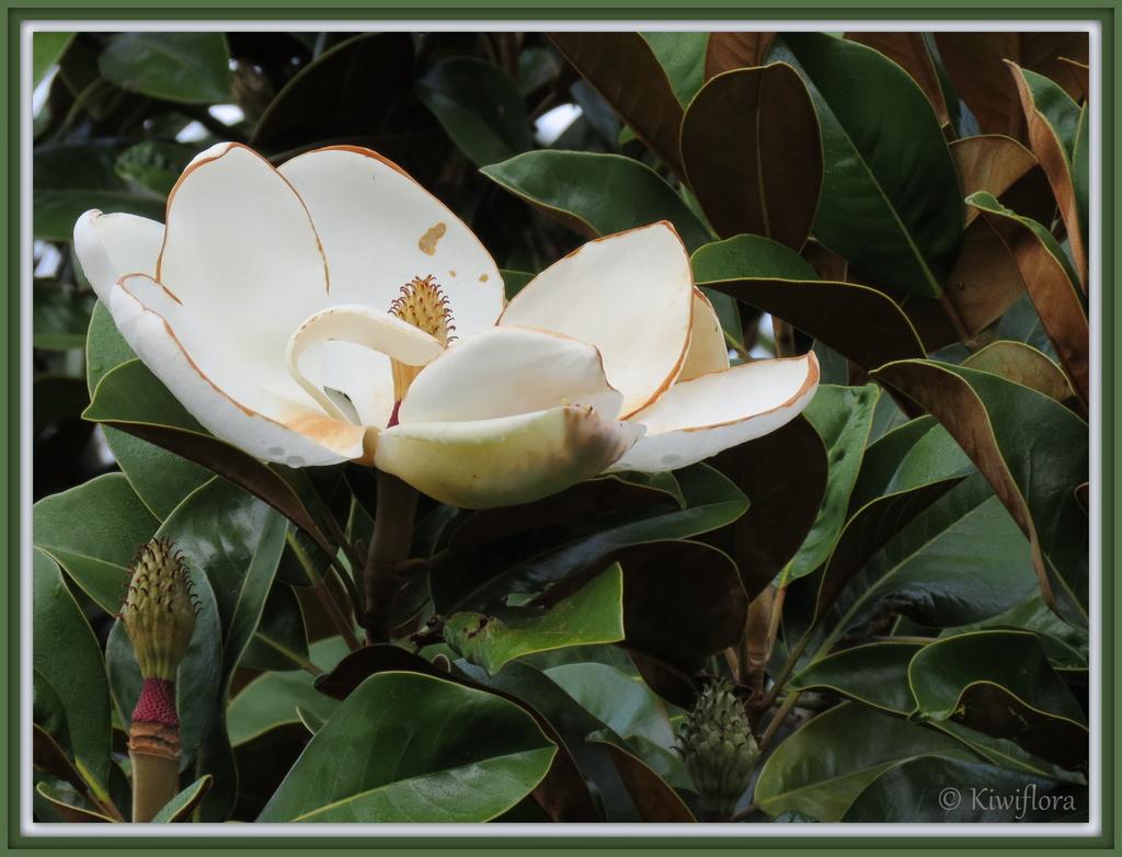 Magnolia grandiflora by kiwiflora