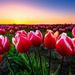 Tulips at Sunset by abirkill