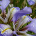 Irises in the rain. by snowy