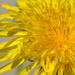 Dandelion by richardcreese