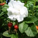 white Rosa Rugosa . by snowy