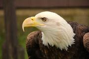 29th Apr 2013 - Bald Eagle