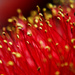 Callistemon by skelly10