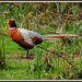 Beautiful pheasant by rosiekind
