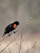 30th Apr 2013 - Blackbird