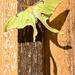 Luna Moth soaking up the sun by kathyladley