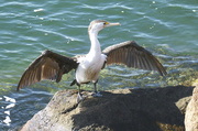 4th May 2013 - Pied Cormorant