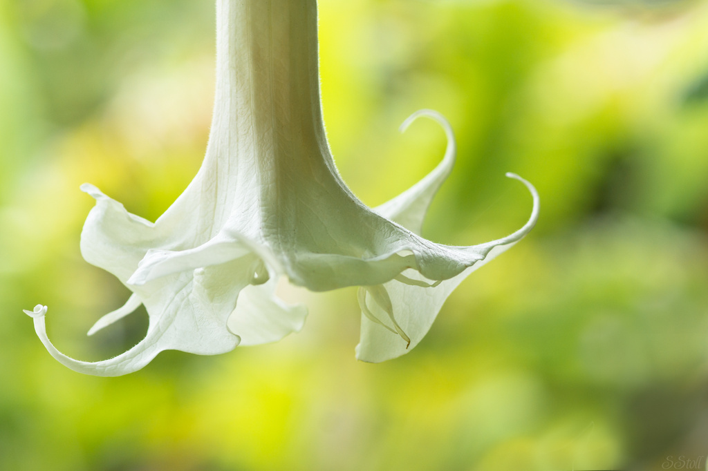 Angel's Trumpet by bella_ss