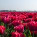 Tulip field by nicoleterheide