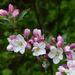 Apple blossom by janturnbull