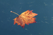 7th May 2013 - Lone Autumn Leaf