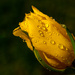 7th May Water droplets on yellow tulip by pamknowler