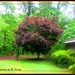 Japanese Maple by vernabeth