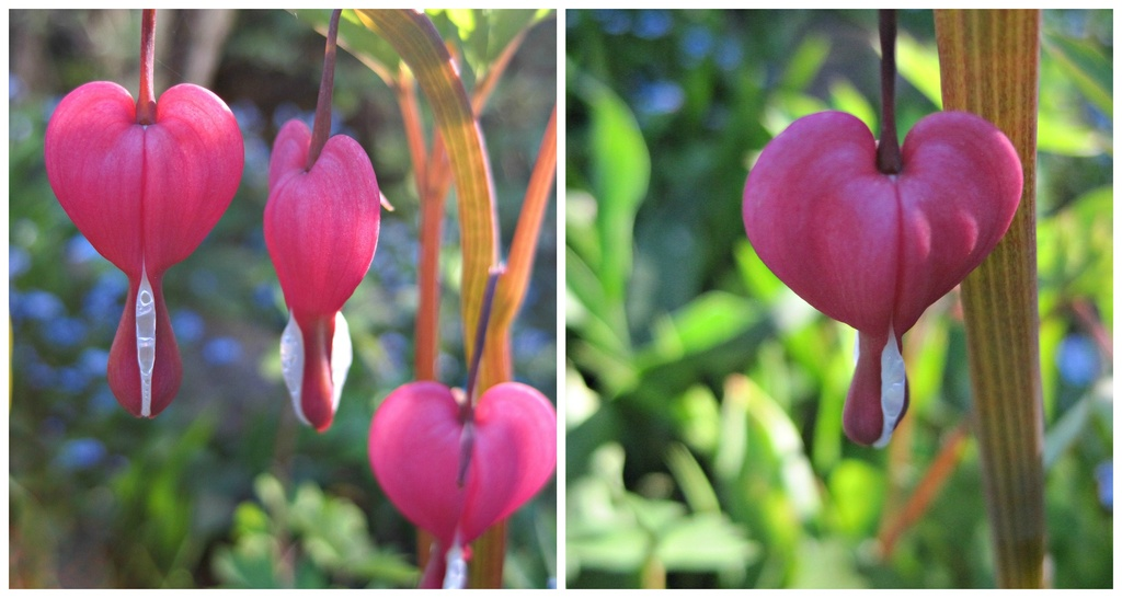 I send you dicentra 'hearts' on World Red Cross Day by quietpurplehaze