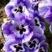 Pansies by lellie