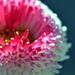 Bellis  by seanoneill