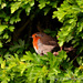 Robin by tonygig